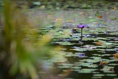 Flor de Lotus en un jardín botánico foto de archivo libre de regalías