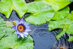 Flor de Lotus en una charca Imagen de archivo