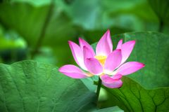 Flor de Lotus HDR Fotografía de archivo