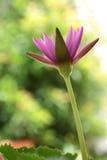 Flor de Lotus, lótus cor-de-rosa Imagem de Stock Royalty Free