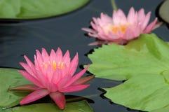 Flor de Lotus na água Fotografia de Stock