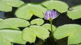 Flor de Lotus na cor roxa fotografia de stock royalty free