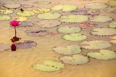 Flor de Lotus na lagoa Flor de Waterlilly no jardim Fundo natural imagens de stock royalty free