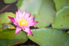 Flor de Lotus no jardim Imagens de Stock Royalty Free