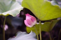 Flor de Lotus no lago dos lótus Imagens de Stock