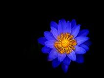 Flor de Lotus no preto Imagens de Stock