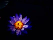 Flor de Lotus no preto Imagens de Stock Royalty Free