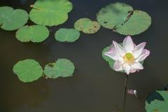 Flor de Lotus no rio Fotos de Stock Royalty Free