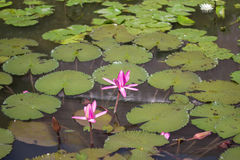 Flor de Lotus no rio Fotografia de Stock