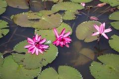 Flor de Lotus no rio Imagens de Stock Royalty Free