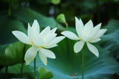 Flor de Lotus no verão Imagens de Stock