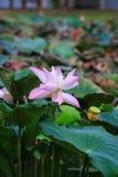 Flor de Lotus o nucifera del Nelumbo foto de archivo