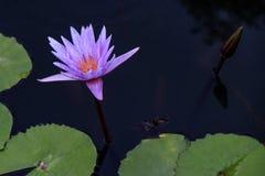 Flor de Lotus púrpura y plantas de la flor de Lotus Imagenes de archivo