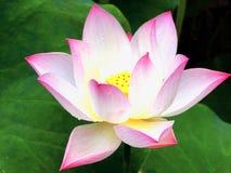 Flor de Lotus que florece dentro del jardín de Guyi Fotografía de archivo libre de regalías