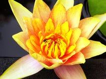 Flor de Lotus que florece dentro del jardín de Guyi Imágenes de archivo libres de regalías