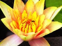Flor de Lotus que florece dentro del jardín de Guyi Imagenes de archivo
