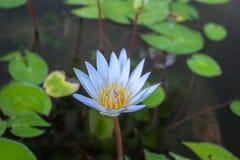 Flor de Lotus que florece en el jardín foto de archivo libre de regalías