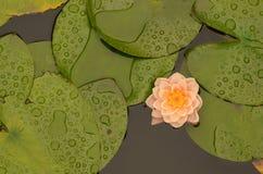 Flor de Lotus que florece en la charca del lilypad Foto de archivo libre de regalías