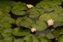 Flor de Lotus que florece en la charca del lilypad Imagenes de archivo