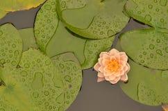 Flor de Lotus que florece en la charca del lilypad Foto de archivo