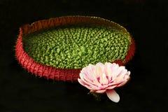 Flor de Lotus rosada con la hoja verde y roja grande Fotos de archivo