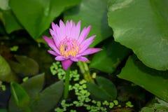 Flor de Lotus rosada en la charca Fotos de archivo libres de regalías