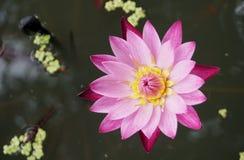 Flor de Lotus rosada en la charca fotos de archivo