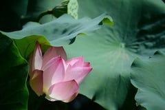 Flor de Lotus sob a folha Imagens de Stock Royalty Free