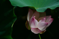 Flor de Lotus sob a folha Imagem de Stock Royalty Free