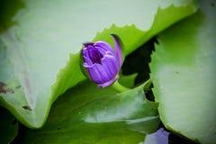 Flor de Lotus Tailandia floreciente en parque imagenes de archivo