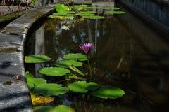 A flor de Lotus, ? uma flor que cres?a na ?gua em algumas mitologias e opini?es s?o as flores sagrados imagem de stock