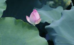 Flor de Lotus y plantas de la flor de Lotus imágenes de archivo libres de regalías