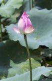Flor de Lotus y plantas de la flor de Lotus Fotografía de archivo