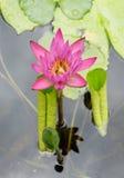 Flor de Lotus y plantas de la flor de Lotus Imagen de archivo libre de regalías