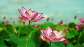 Flor de Lotus y plantas de la flor de Lotus almacen de video