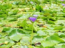 Flor de Lotus y plantas de la flor de Lotus, flor de loto del lirio de agua encendido Imagen de archivo