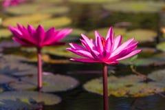 Flor de Lowtus Fotos de Stock Royalty Free