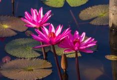 Flor de Lowtus Fotos de Stock
