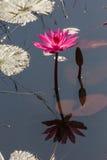 Flor de Lowtus Imagem de Stock