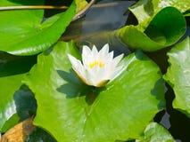 A flor de lótus cor-de-rosa bonita do lírio de água no verde da lagoa sae Foto de Stock Royalty Free