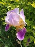 Flor-de-luce Imágenes de archivo libres de regalías
