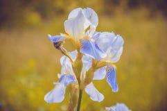 Flor-de-luce Fotos de archivo libres de regalías
