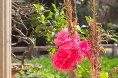 Flor de Lythracea - flor fucsia Imagen de archivo libre de regalías