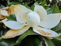 Flor de Magnolio Fotografia de Stock Royalty Free