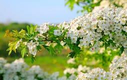Flor de maio Fotografia de Stock Royalty Free