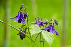 A flor de maio no jardim Imagem de Stock Royalty Free