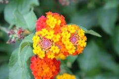 Flor de Majorca Fotografia de Stock Royalty Free