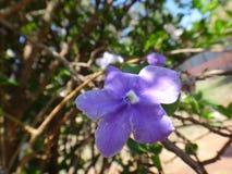Flor de Manaca Imágenes de archivo libres de regalías