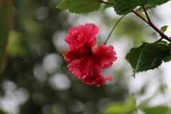 Flor de Manipur fotos de archivo libres de regalías