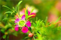 Flor de Manuka Imagens de Stock Royalty Free